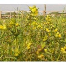 Wild Flower - Yellow Rattle - Rhinanthus Minor - 1200 Seeds