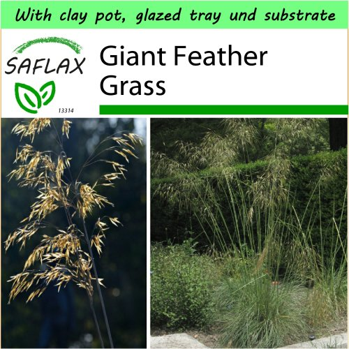 SAFLAX Garden to Go - Giant Feather Grass - Stipa gigantea - 10 seeds - With clay pot, glazed tray, substrate and fertilizer