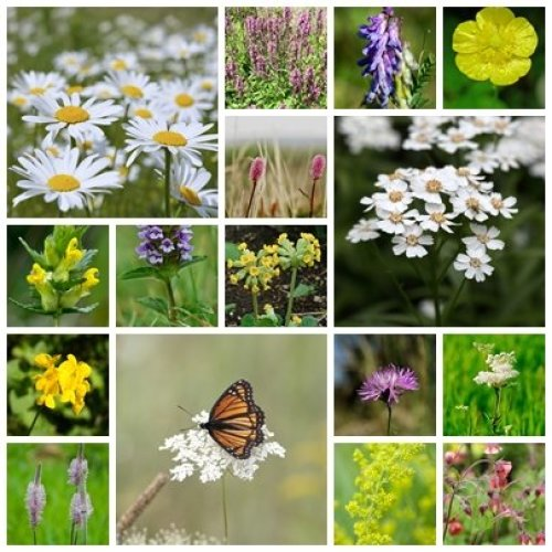 RP Seeds British Native Wildflower Seeds - Boggy Meadow Mix - 2g