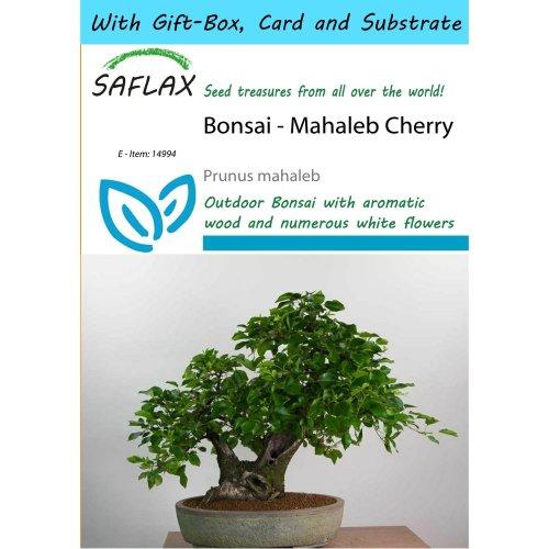 Saflax Gift Set - Bonsai - Mahaleb Cherry - Prunus Mahaleb - 30 Seeds - with Gift Box, Card, Label and Potting Substrate