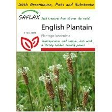 Saflax Potting Set - English Plantain - Plantago Lanceolata - 100 Seeds - with Mini Greenhouse, Potting Substrate and 2 Pots