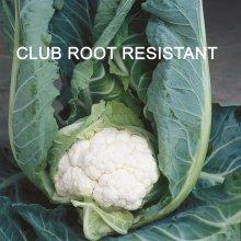 KINGS SEED club root resistant cauliflower