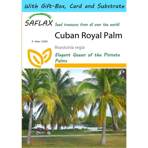 Saflax Gift Set - Cuban Royal Palm - Roystonia Regia - 8 Seeds - with Gift Box, Card, Label and Potting Substrate
