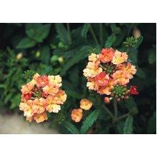 Flower - Verbena Peaches and Cream - 15 Seeds