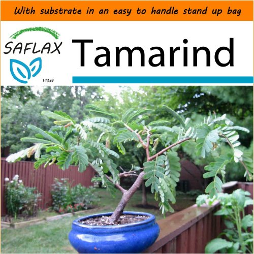 SAFLAX Garden in the Bag - Bonsai - Tamarind - Tamarindus - 4 seeds