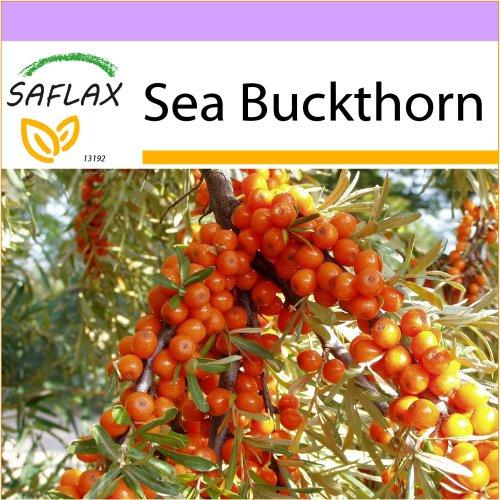 SAFLAX  - Sea Buckthorn - Hippophae rhamnoides - 40 seeds