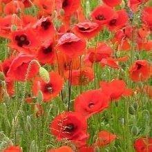 Wild Flower - Red Common Field Poppy - Papaver Rhoeas - 20g