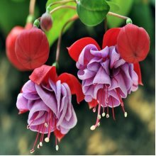 30Pcs Chinese Enkianthus Seeds Potted Chinese Enkianthus Flower Garden Ornamental Plants