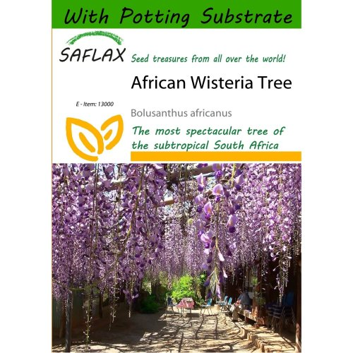 Saflax  - African Wisteria Tree - Bolusanthus Africanus - 10 Seeds - with Potting Substrate for Better Cultivation
