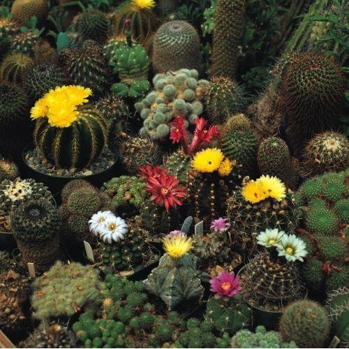 Flower - Cactus - Crown Mix - 500 Seeds